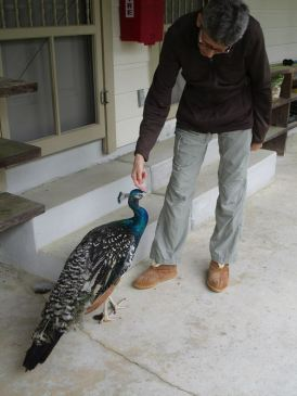 peacock suzanne